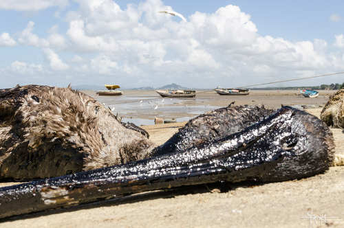 Photo: A dead bird on the shore at Otaheite after a Petrotrin oil spill. (Copyright Shaun Rambaran)