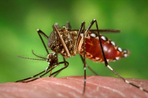 Photo: Mosquitos carrying the Zika virus are causing a global panic. (Copyright Abc.net.au)