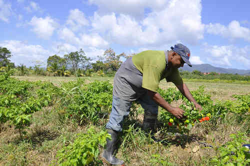 Photo: Farmer Kumar Laltoo tends to his crop. (Courtesy News.Co.TT)