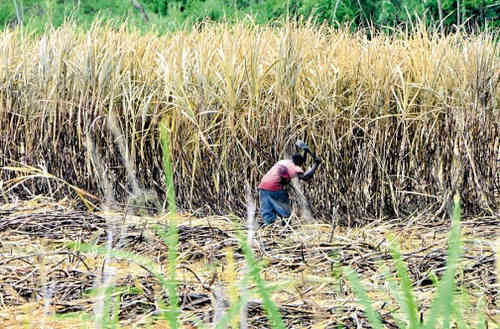 Photo: A sugar cane worker on the estate in Jamaica. (Copyright Jamaica Observer)