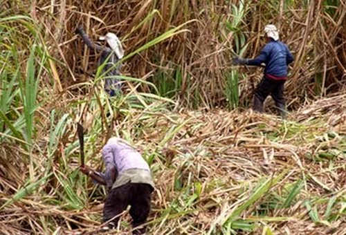 Photo: Workers in the sugarcane field. (Copyright News.Gov.TT)