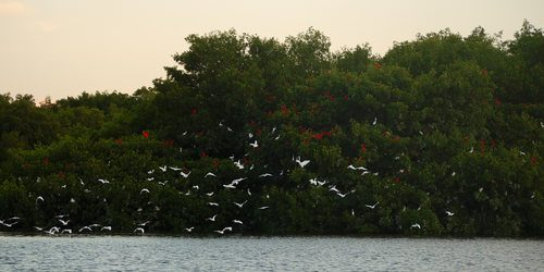Photo: Scarlet ibis at the Caroni Swamp. (Copyright caroniswamprdi.org)