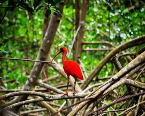 Photo: A solitary scarlet ibis at the Caroni Swamp. Is this what the future holds? (Copyright Gowanderscape)