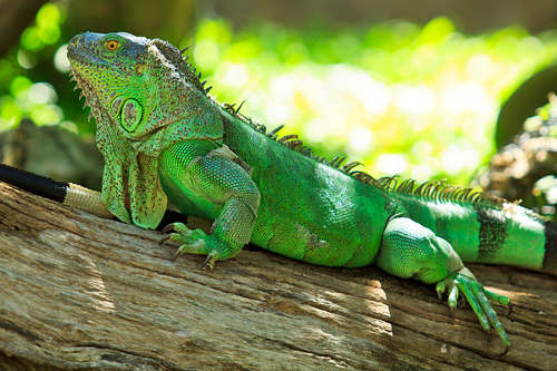 Photo: An iguana. (Copyright Pantanalescapes)