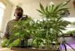 Not condemning: Can our country contrive to convert cannabis cultivation into hard cash?