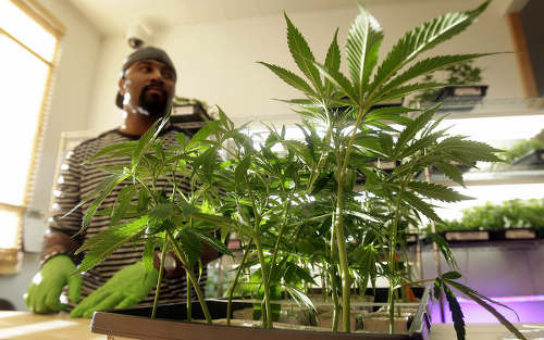Photo: A pharmacist cultivates medical marijuana in Colorado.