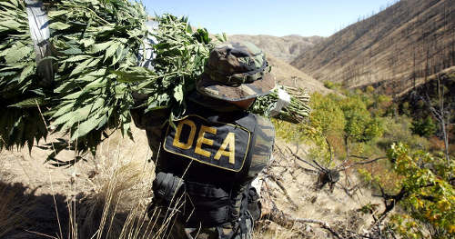 Photo: A DEA agent carries out a marijuana raid in the United States.